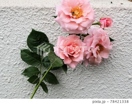 はな阿蘇美 春のバラ開花 石壁背景のピンクの薔薇 熊本県阿蘇市小里 78421338