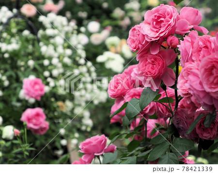 はな阿蘇美 春のバラ開花 白バラ背景のピンクの薔薇 熊本県阿蘇市小里 78421339