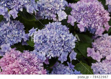 いっぱいのハイドランジア 西洋紫陽花 78422987