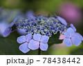 鶴舞公園 アジサイ 78438442
