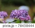 鶴舞公園 アジサイ 78438444