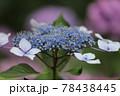 鶴舞公園 アジサイ 78438445