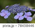 鶴舞公園 アジサイ 78438446