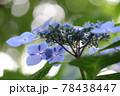 鶴舞公園 アジサイ 78438447