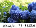 鶴舞公園 アジサイ 78438639