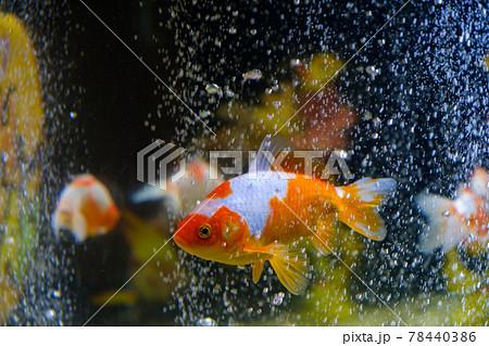 水槽の金魚 大和郡山 78440386