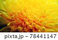 菊の花 ダリア 接写 78441147