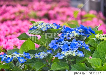 赤いサツキの花が背景の紫陽花の花 78441149
