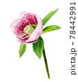ピンクのアネモネの水彩画 78442991
