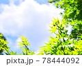 新緑の葉と青空 78444092