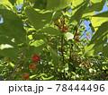 赤く色付いたサクランボの実とサクランボの木 78444496