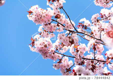澄んだ青空に浮かび上がる満開の桜の花 78444842