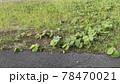 アスファルトの道路脇の雑草とポイ捨てされたペットボトルのゴミ 78470021