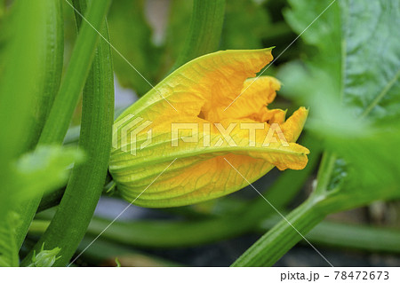 畑のズッキーニとズッキーニの花 78472673
