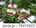 緑と光の中のハコネウツギの花 78474922