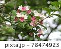 ハコネウツギの花 78474923