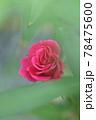 緑の中の赤いバラ 78475600