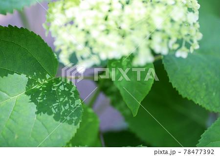 葉にレースのような美しい影を落とす白い紫陽花の花 78477392