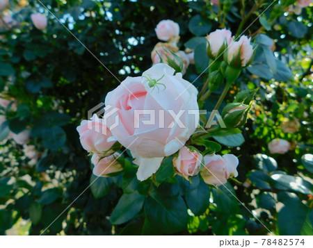 薄ピンク色のバラに小さな緑の蜘蛛 78482574