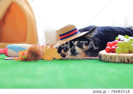 麦わら帽子を被るチワワとフルーツ 犬 78483518