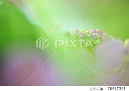 背景が淡くやわらかい、紫の紫陽花の花びらとつぼみ 78487543