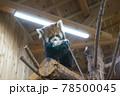 伊豆シャボテン動物公園 レッサーパンダ 餌を食べる 78500045