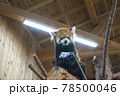 伊豆シャボテン動物公園 レッサーパンダ 78500046