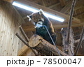 伊豆シャボテン動物公園 レッサーパンダ 餌を食べる 78500047