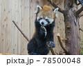 伊豆シャボテン動物公園 レッサーパンダ 78500048