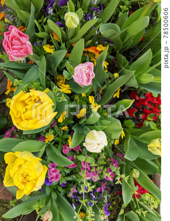 花壇に咲き誇るたくさんのチューリップ 78500606