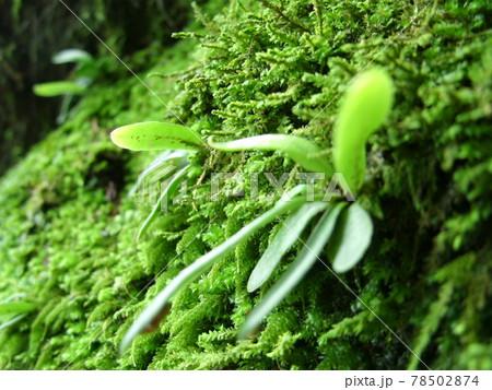 緑に苔むした倒木に生えるノキシノブ(軒忍)を横から接写 78502874