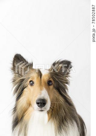 白バック見上げる犬 78502887
