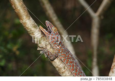 木の枝につかまるトッケイヤモリ 78503848