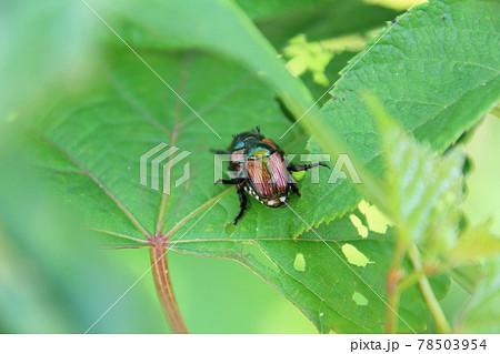 葉っぱの陰で交尾する日本在来種のマメコガネ 78503954