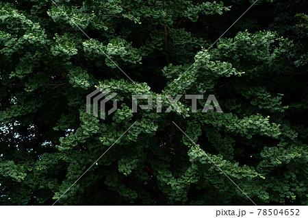 葉が茂る初夏 生命力あふれるイチョウの大樹の枝 78504652