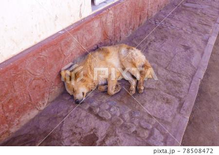 昼間の街中の通りですやすや眠る小型の野良犬 78508472