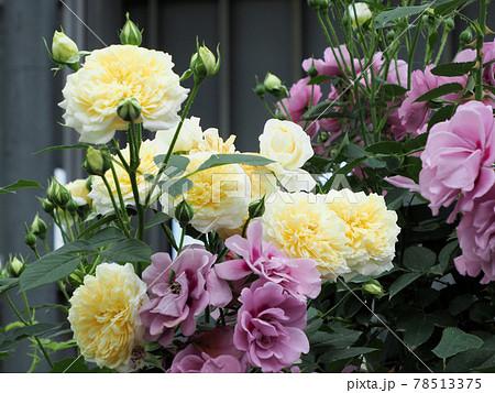 はな阿蘇美 春のバラ開花 アメジストバビロンとペガサス 熊本県阿蘇市小里 78513375