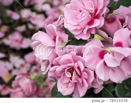 はな阿蘇美 春のバラ開花 アメジストバビロン 熊本県阿蘇市小里 78513376