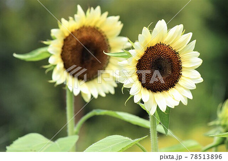 目立たない様で目立つ白い向日葵の花 78513896