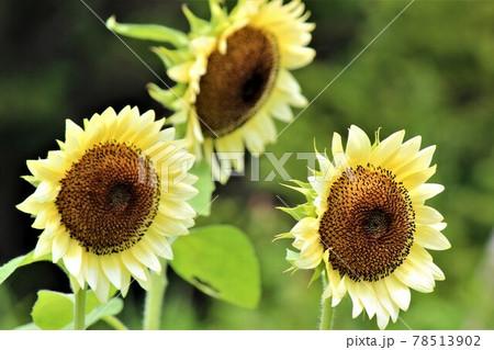 ホワイトナイトの向日葵の三本立て 78513902
