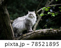 gray longhair cat sitting on a tree observing the garden 78521895