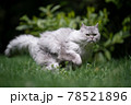 playful longhair cat running fast on green meadow outdoors 78521896