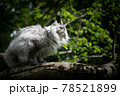 gray british longhair cat sitting on a tree observing the garden 78521899