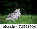 gray british longhair cat standing on green meadow observing the garden 78521900