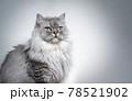 beautiful british longhair cat portrait on light gray background 78521902