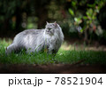 gray british longhair cat standing on green meadow outdoors 78521904