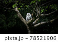 gray british longhair cat sitting on an apple tree outdoors in nature 78521906