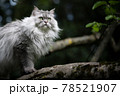 gray british longhair cat sitting on a tree observing the garden 78521907
