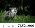 gray british longhair cat standing on green meadow outdoors in nature 78521909