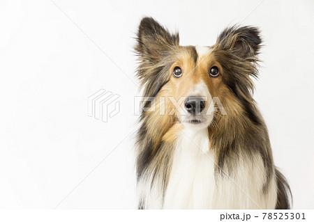 白バック見上げる犬 78525301